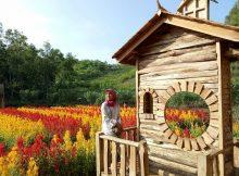 Cantiknya Kebun Bunga Celosia Gunung Kidul